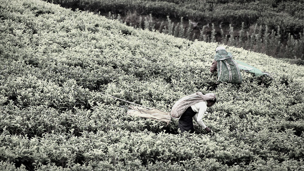 Social tea harvest